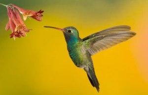 hummingbird-garden-hover